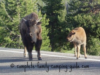 bison on road at Yellowstone National Park
