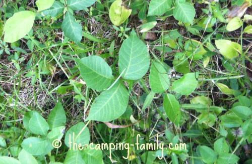 poison ivy plants